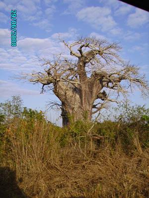 Orgone energy gifting tour Malawi: Baobab