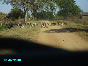 Orgone energy gifting expedition Malawi: Goats