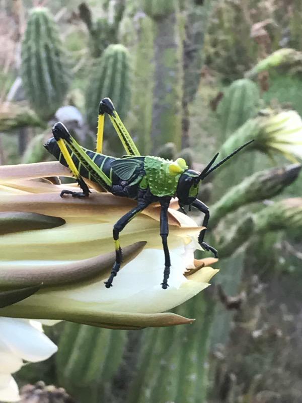 Locusts / Grashoppers